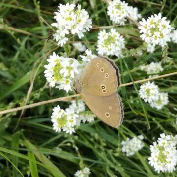 Co zrobić, aby zwabić do ogrodu motyle?